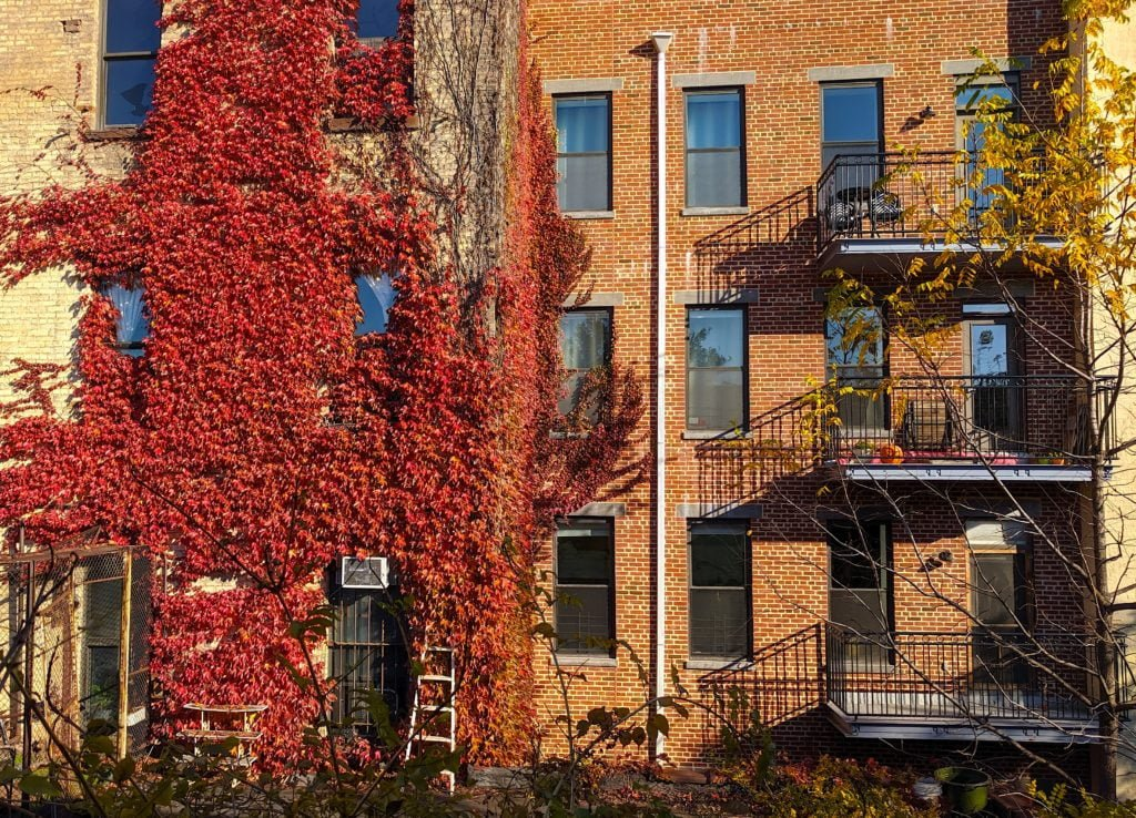 Picture of building exteriors covered in red ivy